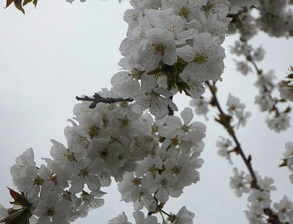 Tree Sapling Bloom Blossom Spring Coil Cherry Blos
