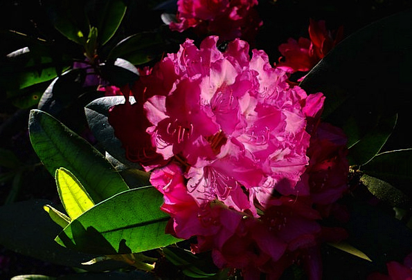 Rododendron Flower Floret Lily Light Back Light Ta