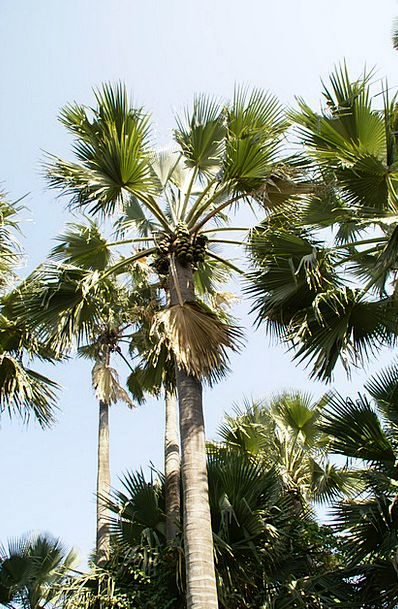 Palm Tree Hot Gambia Tropical Holiday Break