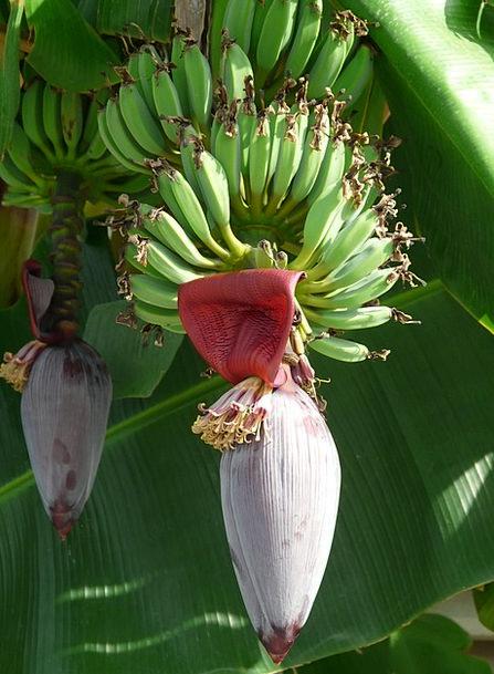 Inflorescences Drink Food Bananas Crazy Banana Tre