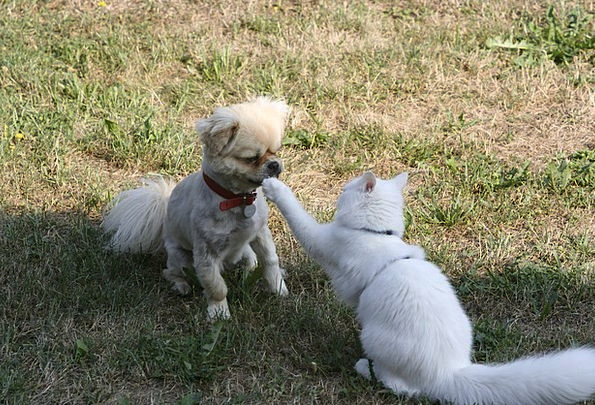 Cat Feline Tibetan Spaniel Domestic Cat Beige Swee