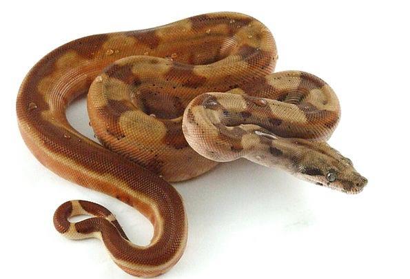 Reptile Serpent Hypo Snake Pet Snake Boa Striped T