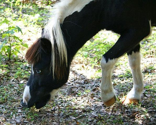 Minature Horse Horse Graze Scratch Pony Tail Nibbl