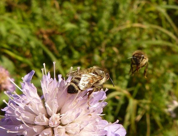 Honey Bee Insect Bug Apis Mellifera Hymenoptera Po