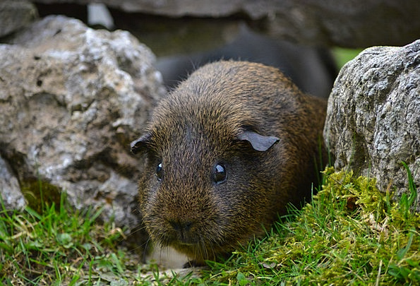 Guinea Pig Animal Physical Rodent Button Eyes Smoo