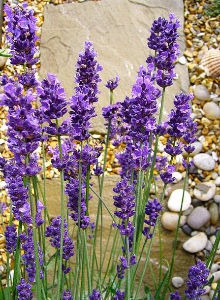 Lavandula Violet Flower Floret Lavender Purple Ela