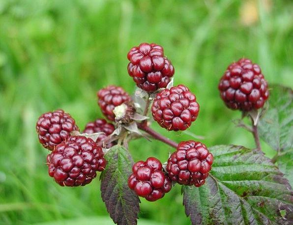 Blackberries Landscapes Rough Nature Berries Wild