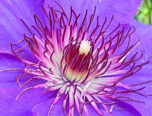 Clematis Floret Blue Azure Flower Purple Elaborate