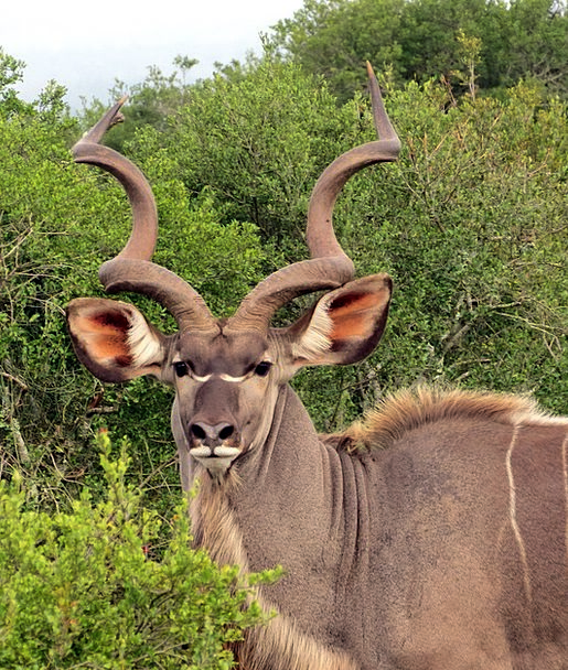 Kudu Physical Horns Sirens Animal South Africa Saf