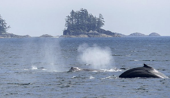 Humpback Whale Landscapes Gusting Nature Spraying