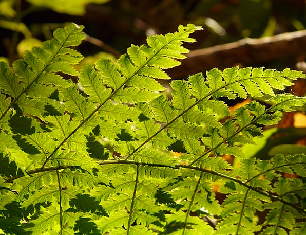 Fern Leaf Landscapes Vegetable Nature Green Lime P