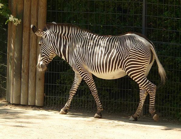 Plains Zebra Perissodactyla Zebra Hoof Animal Phys