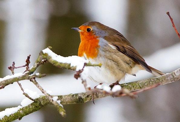 Animal Physical Bill Bird Fowl Beak Robin Branch D
