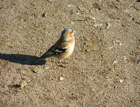 Chaffinch Fowl Passerine Bird Finch Spring Common