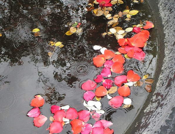 Petals Pool Raindrops Pond Roses Designs Gardens P
