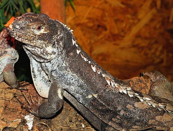 Lizard Reptile Iguana Scale Gauge Terrarium Urtier