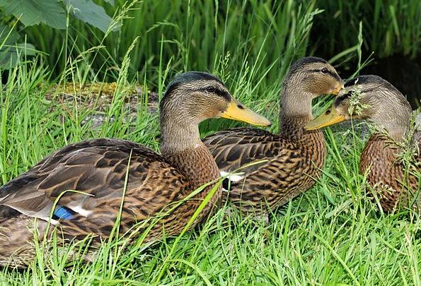 Ducks Dears Male Masculine Drake Young Animals Col
