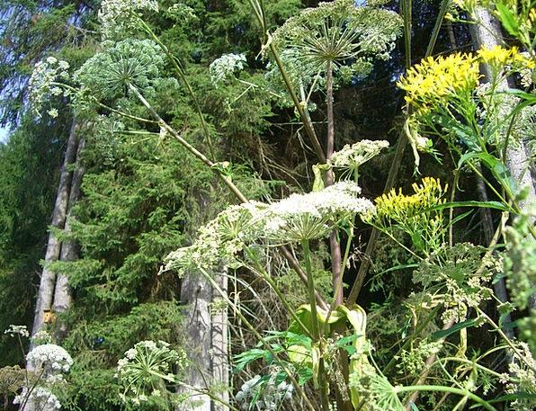 Giant Hogweed Hogweed Doldengewaechs Blue Flower F