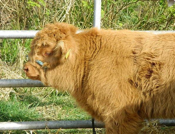 Cow Intimidate Cows Highland Upland Cattle Rural S