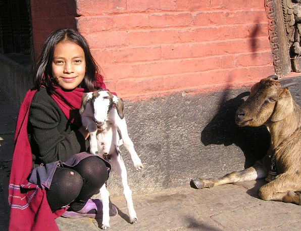 Nepal Sheep Ewe Goat Cute Attractive Child Kathman