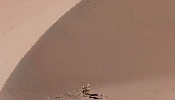 Vicuña Animal Physical Vicunia Dry Thirsty Dunes D
