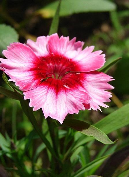 Dianthus Landscapes Flushed Nature Flower Floret P