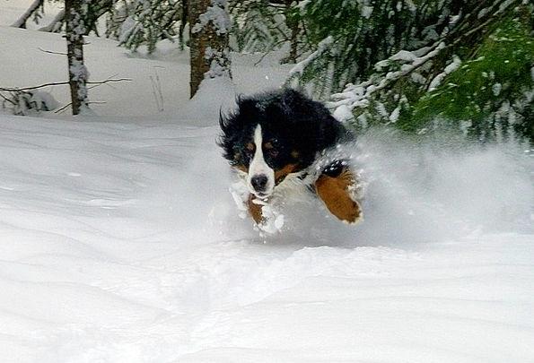 Jumping Hopping Bernese Mountain Dog Dog Winter Se