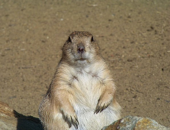 Rodent Animals Faunae Marmot