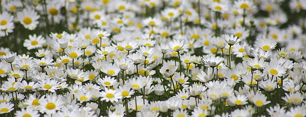 Daisy Landscapes Flowery Nature Wild Rough Floral