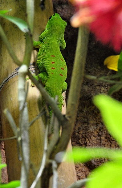 Day Gecko Gecko Malagasy Taggecko Reptile Green Re