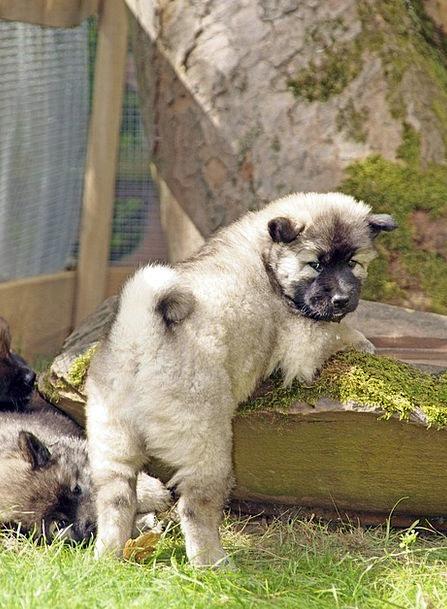 Dog Puppy Cute Attractive Eurasians Cheeky Rude Sw