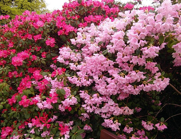 Rhododendron Landscapes Nature Flowers Plants Japa