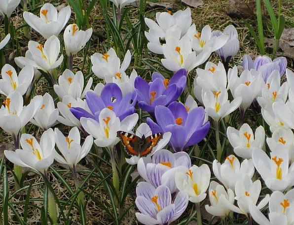 Tortoiseshell Crocuses Crocus White Snowy Purple S