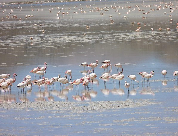 Flamingos Lagoon Inlet Andean Outdoor Bird Fowl Wi