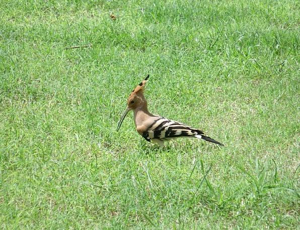 Hoopoe Fowl Beak Bill Bird Avian Long Extended Epo