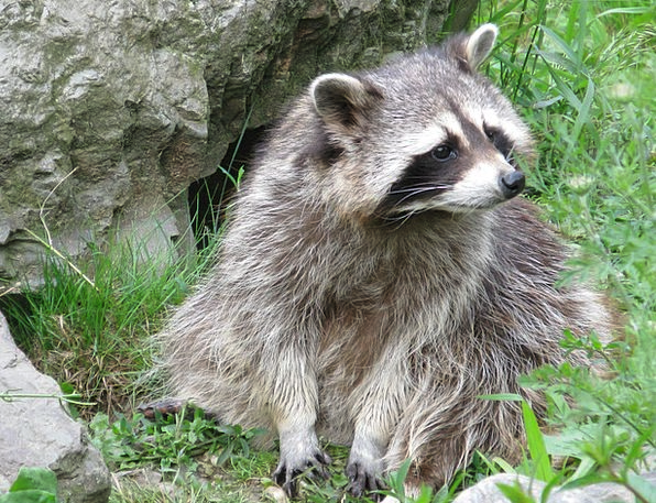 Raccoon Tolerate North America Bear Animal Physica