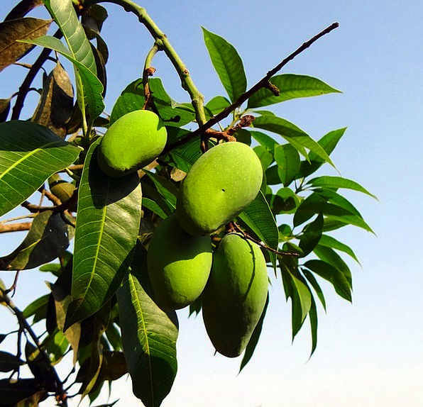 Mango Late-Growing Local Strain Green Lime Orchard