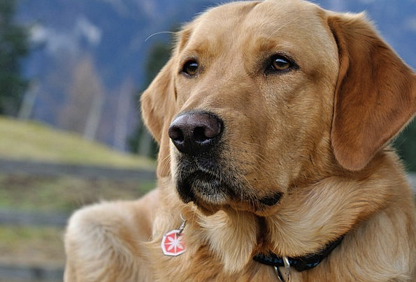 Dog Canine Close Near Labrador Snout Nose Pet Dome