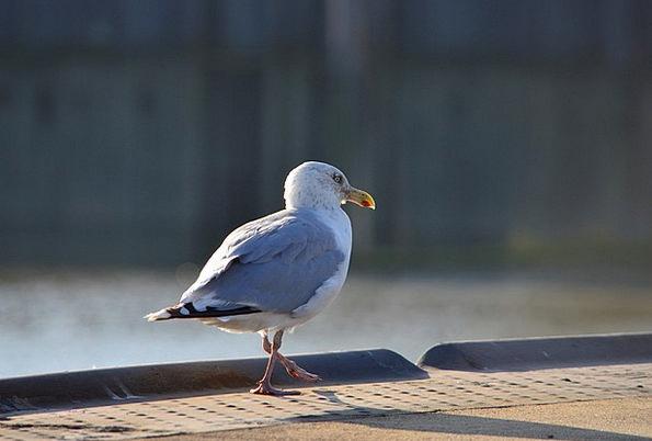 Seagull Bird Fowl Seevogel Coast Shore