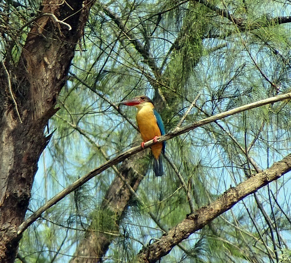 Stork-Billed Kingfisher Perching Resting Casuarina