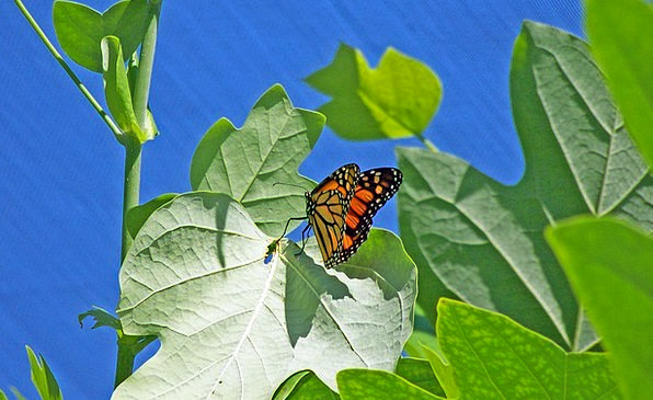 Butterfly Ruler Insect Monarch Feeding Bug Germ Sp