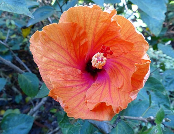Flower Floret Orange Carroty Hibiscus