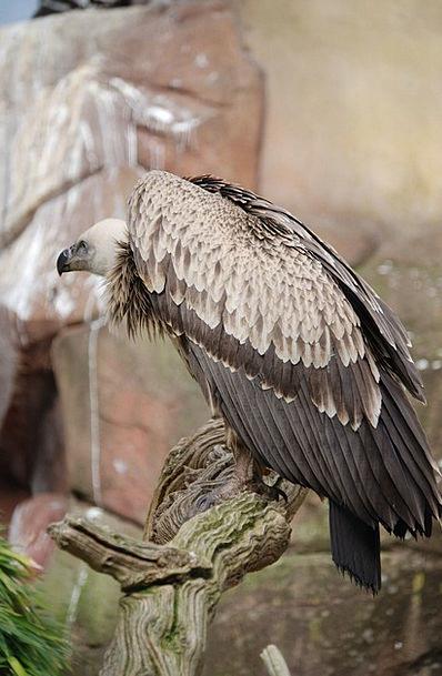 Vulture Predator Scavenger Forager Griffon Vulture