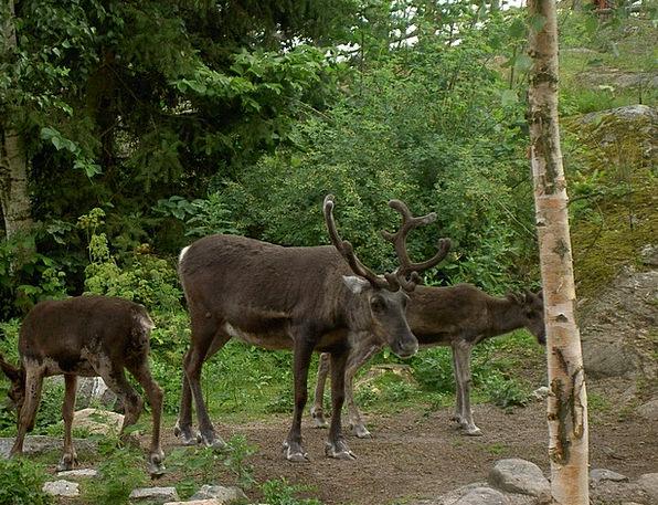 Reindeer Landscapes Countryside Nature Wildlife Na