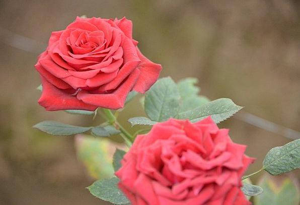 Roses Designs Bloodshot Love Darling Red Flowers P