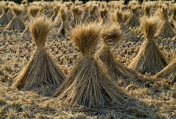 Straw Grass Landscapes Nature Grain Ounce Rice Jap