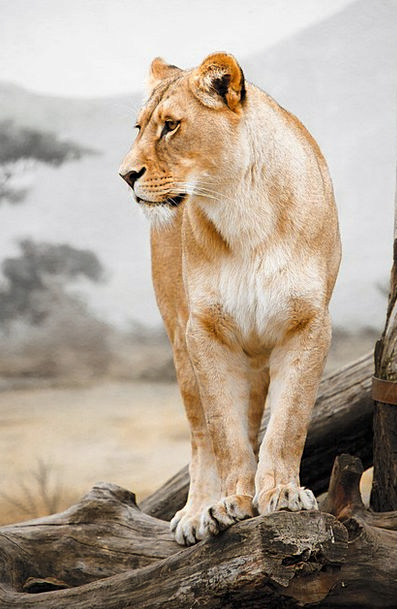 Africa Physical Big Large Animal Lion Carnivore Fl