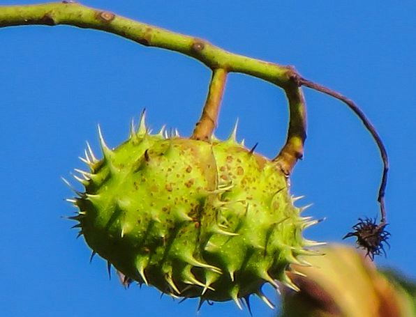 Chestnut Anecdote Branch Autumn Mood Spur Prickly