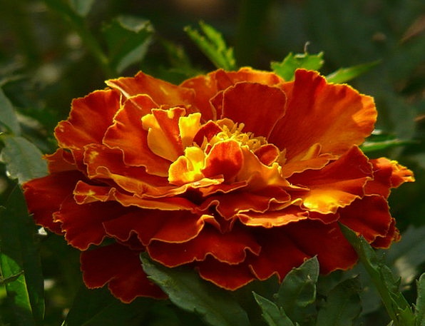 Marigold Landscapes Nature Turkish Carnation Marig