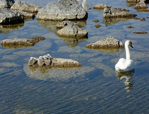 Swan Wander Water Aquatic Signet Bird Fowl Beautif